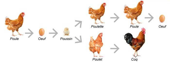 schema-poulet-fermier